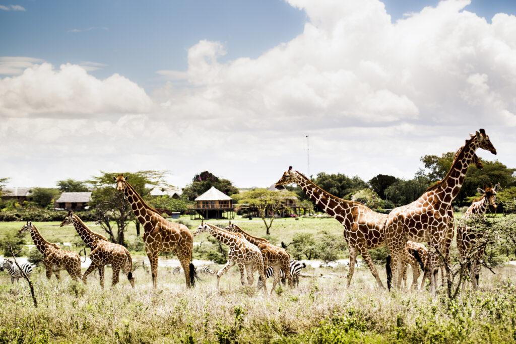 Segera Reticulated giraffe at Segera cWilderness Safaris David Crookes 1024x683 - Auf den Spuren von James Bond und Cary Grant: Traumurlaub vorm Bildschirm
